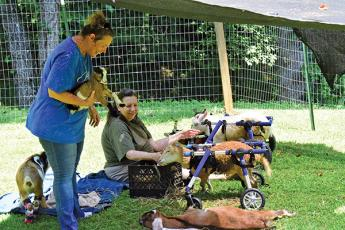 Courtesy of Bella View Farm Sanctuary - Volunteers Erin Erickson, left, and Diane Wildermuth tend to goats, some of which require wheelchairs to get around.